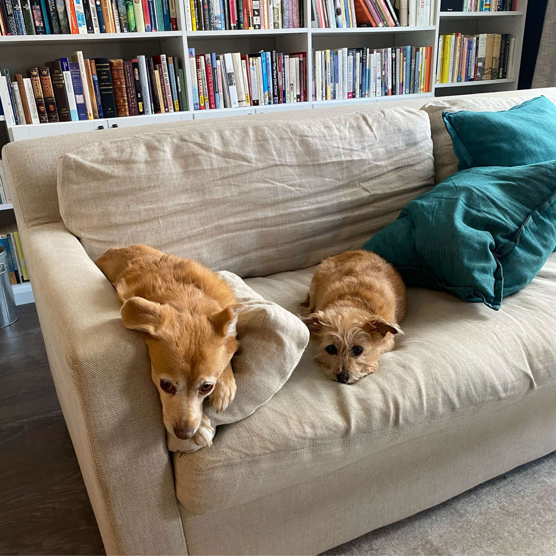 Two dogs lying beside each other on a beige couch in front of a bookcase.