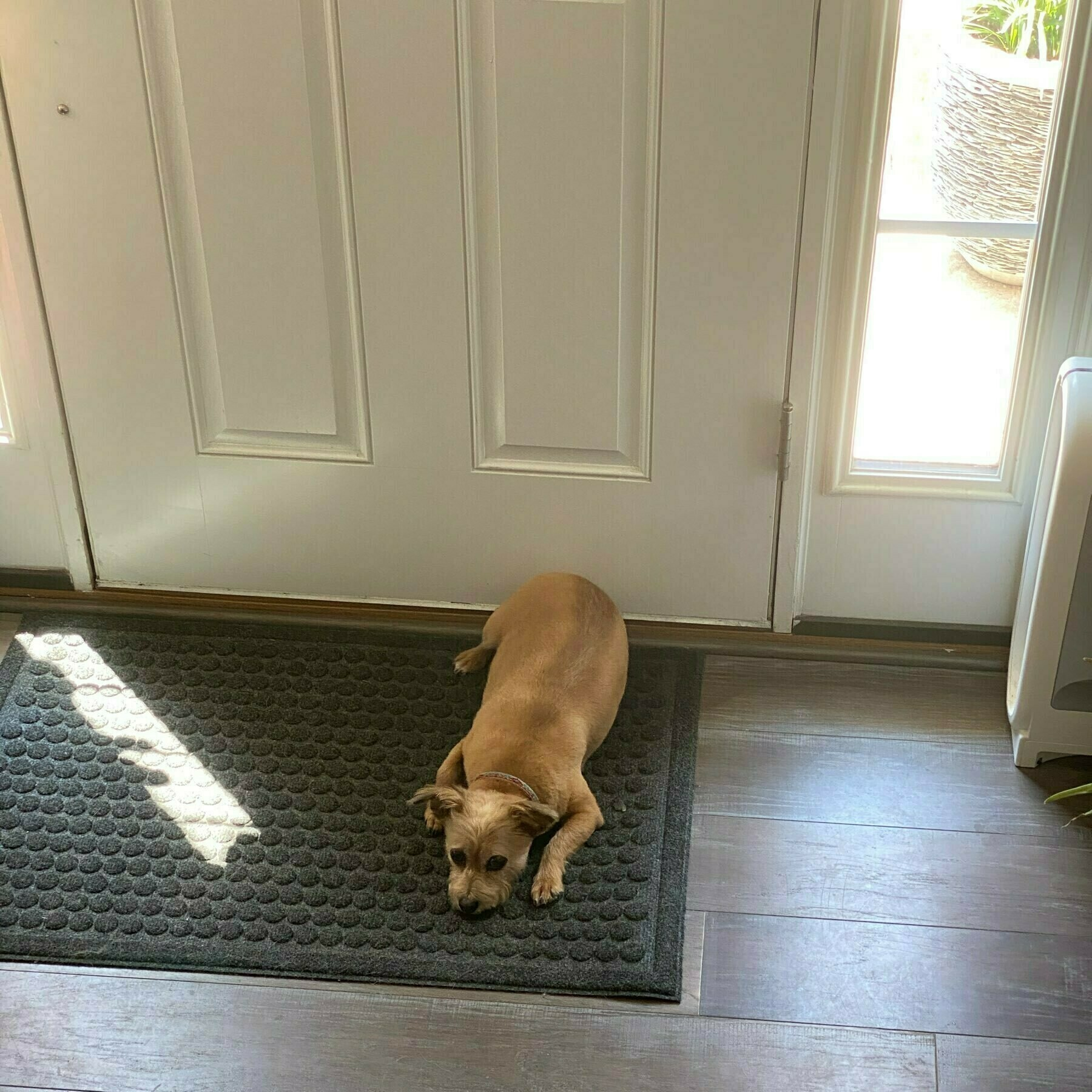 Brandy lying on front door mat in the house.