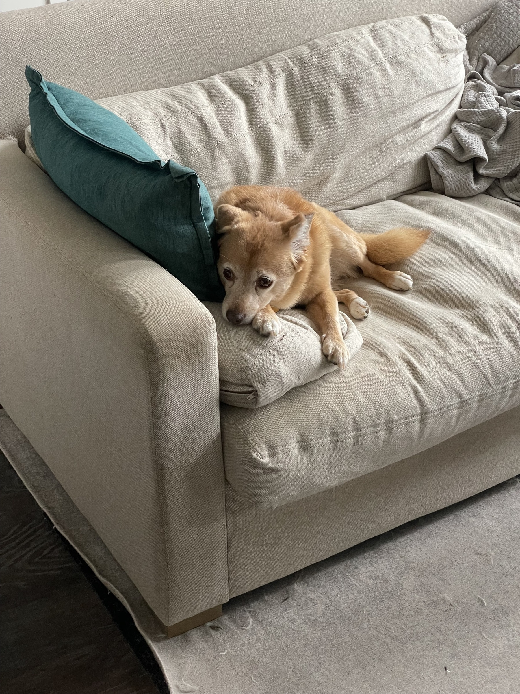 Gracie looking sad on the couch